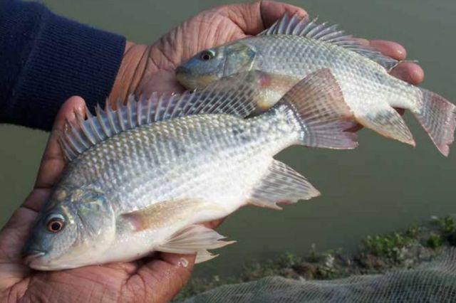 Bibit Ikan Lele