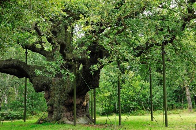 Pohon Oak di Sherwood