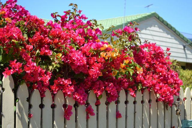 Rumahmu Nggak Butuh Ac Lagi Kalau Sudah Ada 10 Tanaman Rambat Yang Berbunga Terus Ini