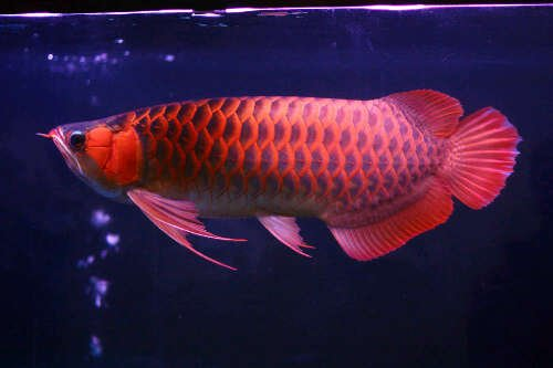 Ikan Arwana Sceleropages SP