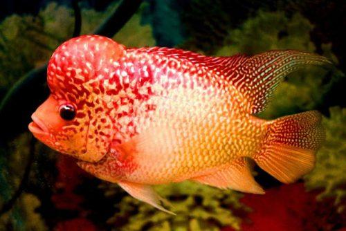 Ikan Louhan atau Flowehorn.