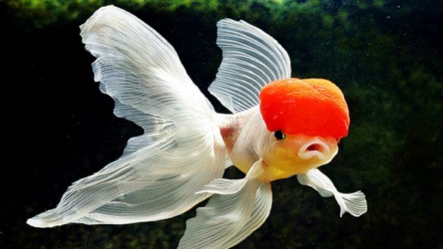 Ikan Koki,