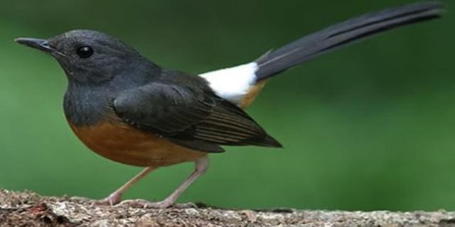 Burung Murai Batu