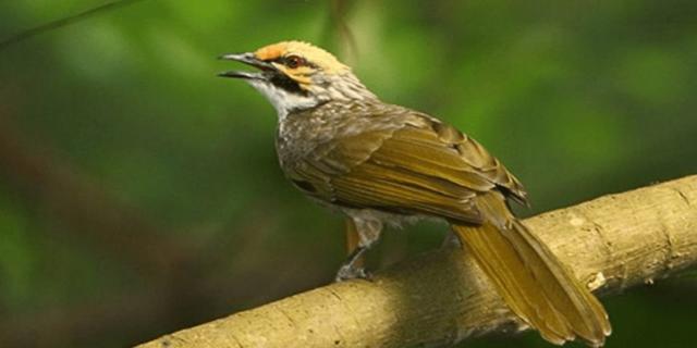 Burung Cucak Rawa