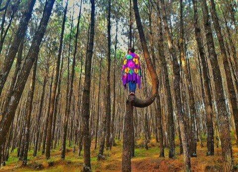 Destinasi Hutan Pinus Kayon
