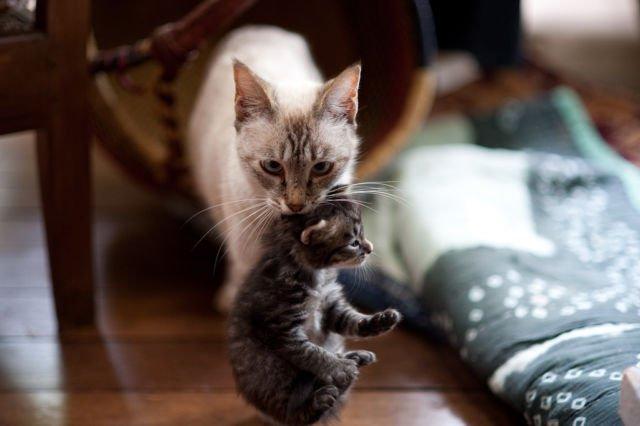 Induk Kucing Memindahkan Anaknya