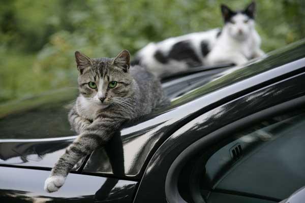 Menabrak Kucing Tertimpa Sial