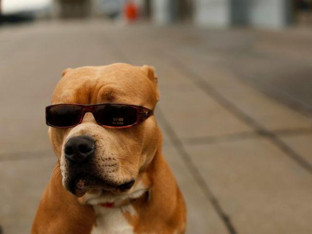 Anjing berkacamata