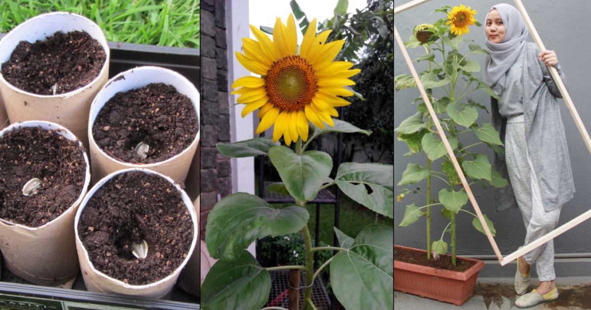 7 Langkah Mudah Menanam Bunga Matahari Lumayan Buat Spot Selfie Di Halaman Sendiri