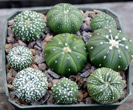 Suka Sama Kaktus 5 Jenis Kaktus Cantik Ini Masih Jarang