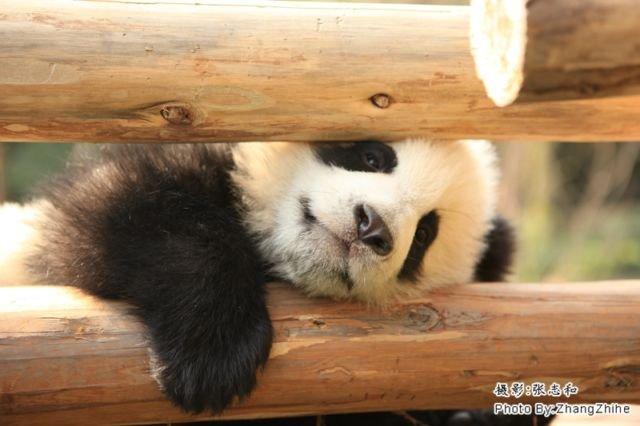 """12 Kelucuan Panda di """"Daycare"""" Khususnya ini Bikin Kamu"""