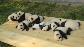 hipwee panda daycare nursery chengdu research base breeding 12