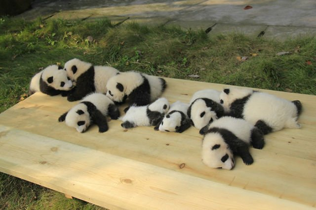 hipwee panda daycare nursery chengdu research base breeding 12