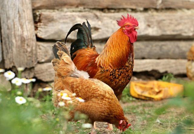 Ternak Ayam