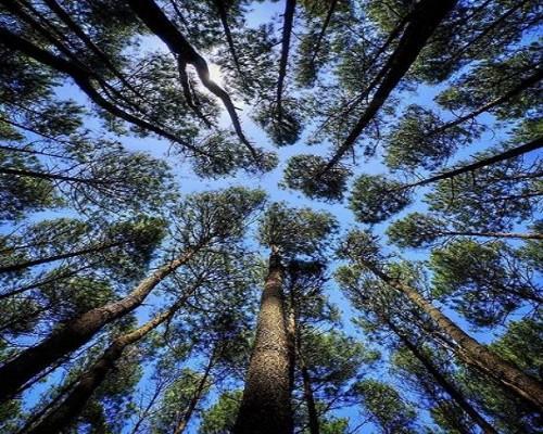 hutan-pinus-mangunan-jogja-500x400