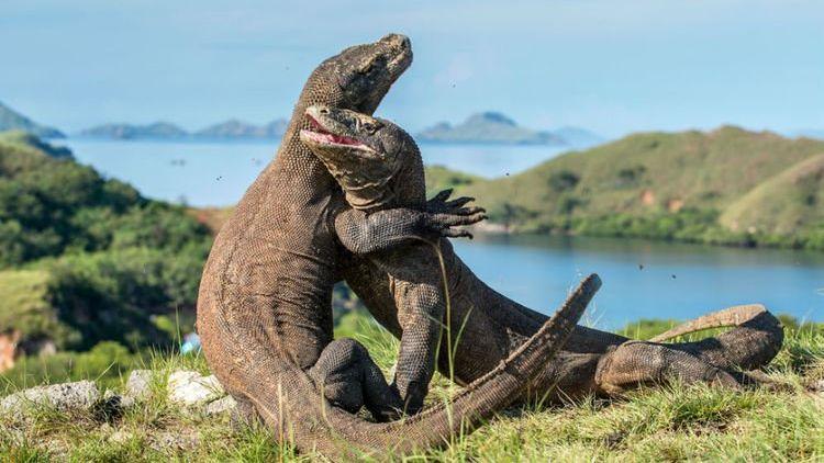 Pulau Komodo Tidak Ditutup Namun Akan Jadi Wisata ...  Pulau Komodo Ti...