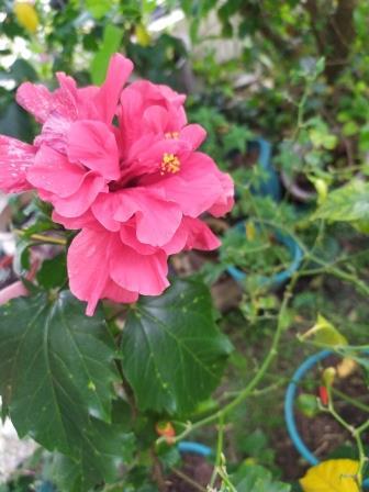 Bunga Kembang Sepatu