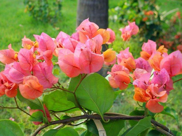 12 Varietas Bugenvil Yang Berwarna Cerah Dan Tumbuh Rimbun Bikin