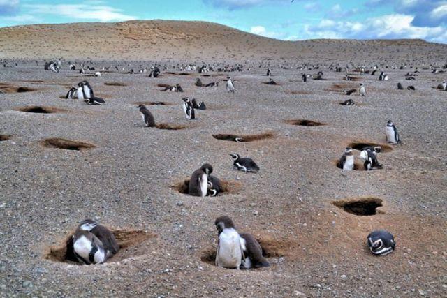 Penguin di Isla Magdalena