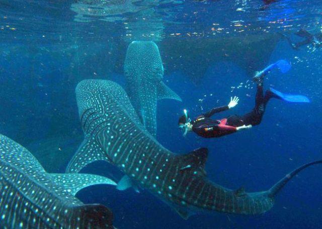 berenang dengan ikan hiu paus