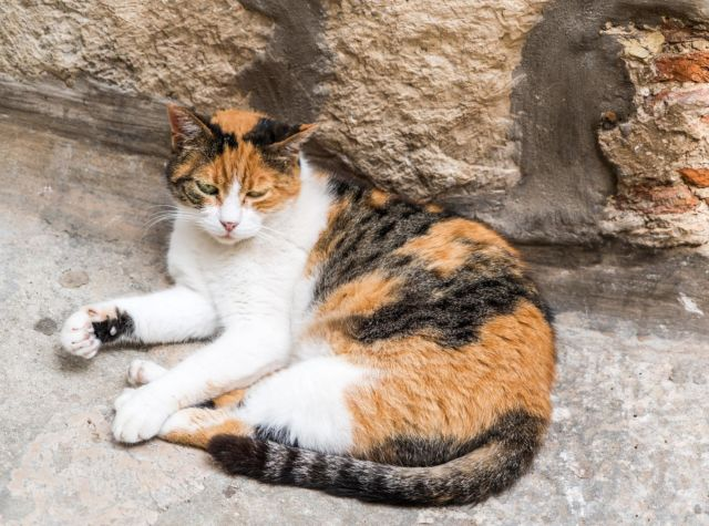 Tak Semua Anak Kucing Jantan Yang Memiliki 3 Warna Dimakan Oleh Induknya Begini Penjelasannya