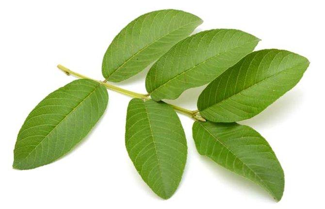 menghilangkan pahit daun pepaya
