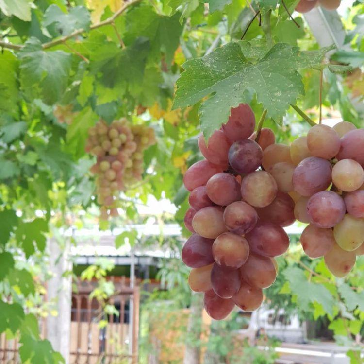 Menilik Kampung Anggur Di Bantul, Destinasi Wisata Edukasi