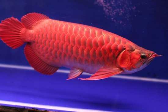 Ikan Arwana Merah Super
