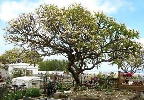 Alasan Pohon Kamboja Selalu Ada Di Kuburan