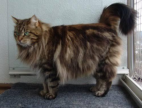 Jangan Ngaku Catlovers Kalau Kamu Masih Keliru Membedakan Kucing Ras Dengan Kucing Domestik