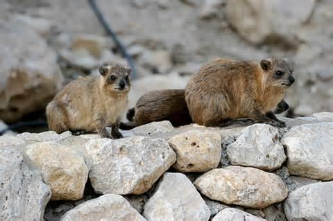 Pelanduk di bukit batu.