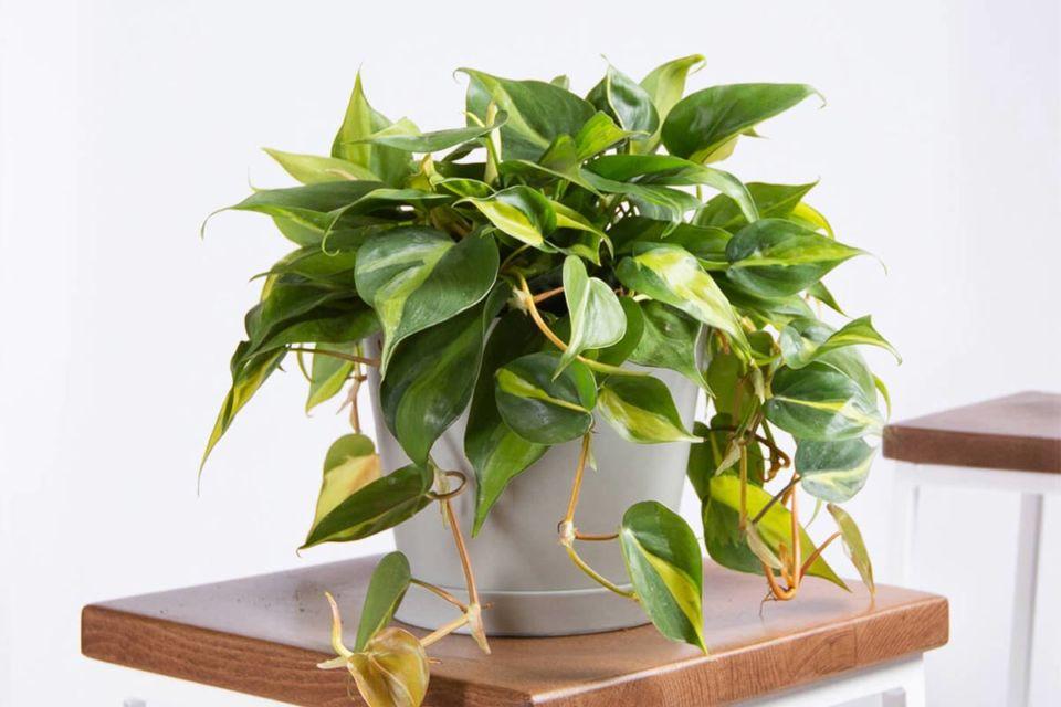 Dekorasi tanaman hijau dalam pot putih, karya Bloomscape