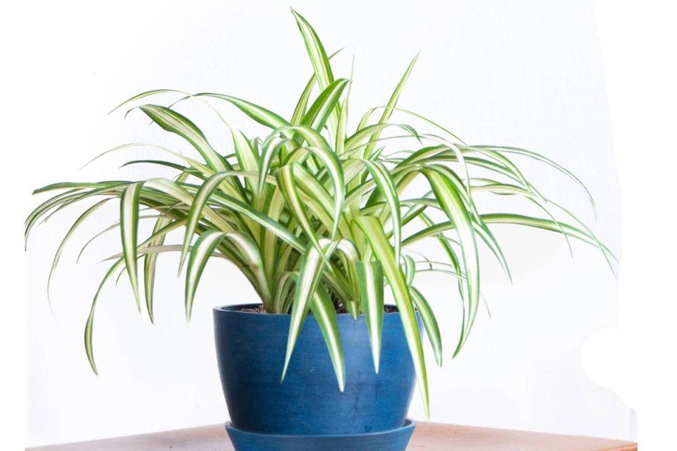 Dekorasi tanaman hijau dalam pot biru, karya Bloomscape