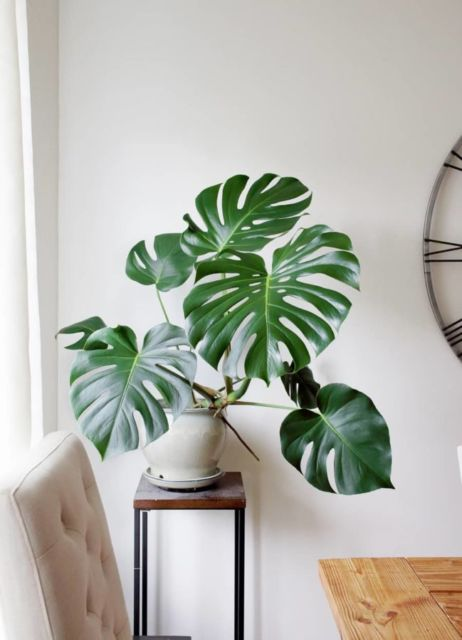 Monstera sudut ruangan