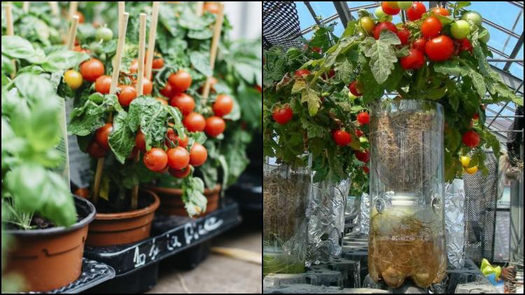 5 Cara Menanam Tomat Dengan Menyemai Bijinya Agar Berbuah Banyak Teknik Hidroponik Kuncinya