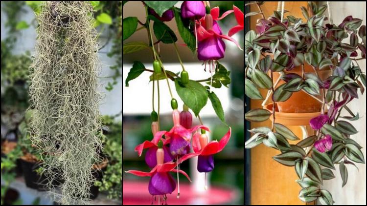 10 Jenis Tanaman Hias Gantung Yang Mudah Perawatannya Bisa Berbunga Atau Merambat Di Tembok