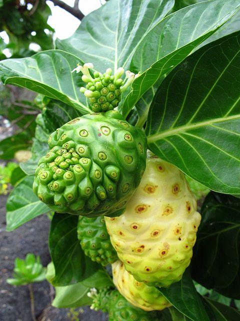 Noni Fruit by Fantomette971