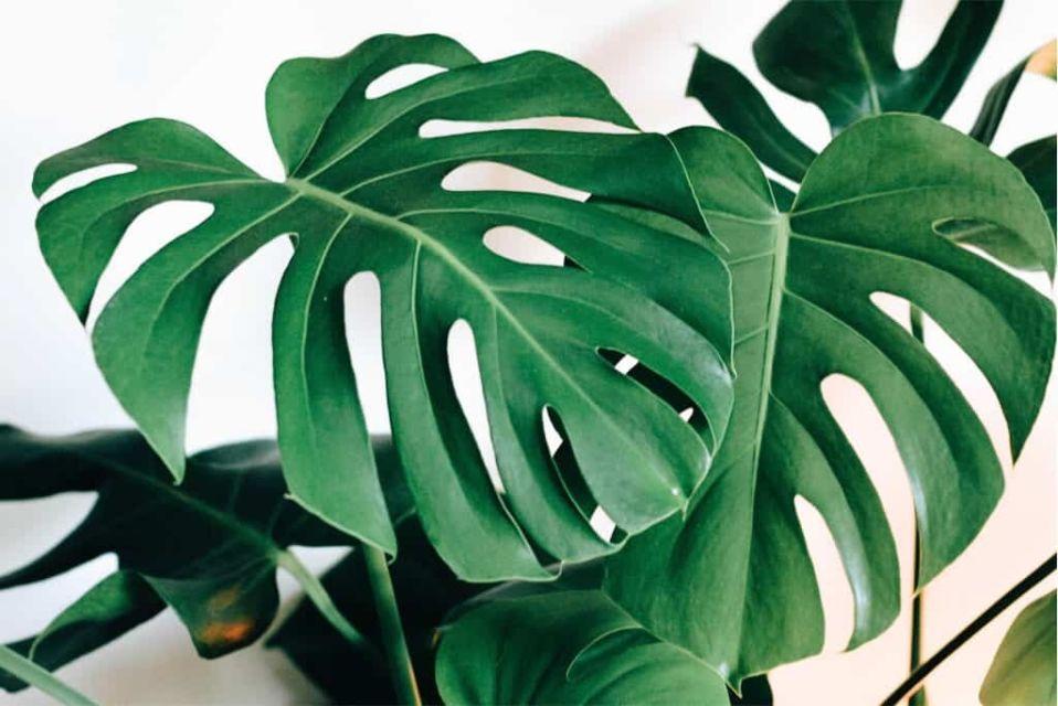 Daun tanaman monstera