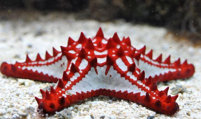 Red-knobbed Starfish