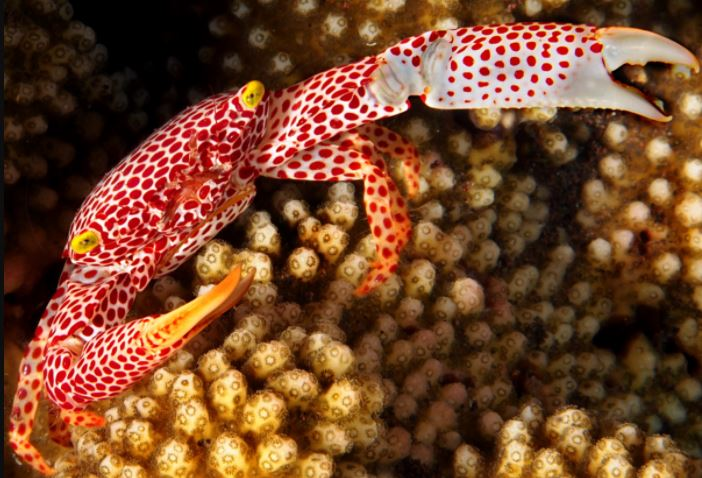 Red-Spotted Coral Crab
