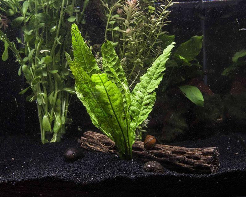 9 Jenis Tanaman Aquascape yang Cocok untuk Ikan Cupang ...
