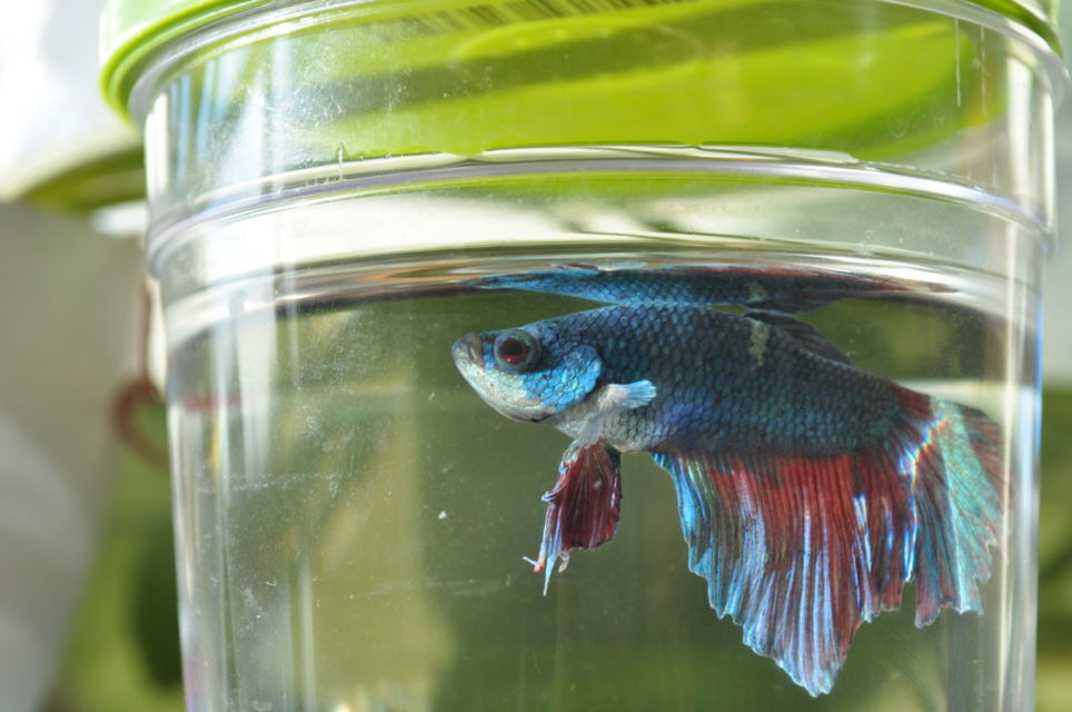 Tips Merawat Ikan Cupang Biar Panjang Umur dan Cantik ...