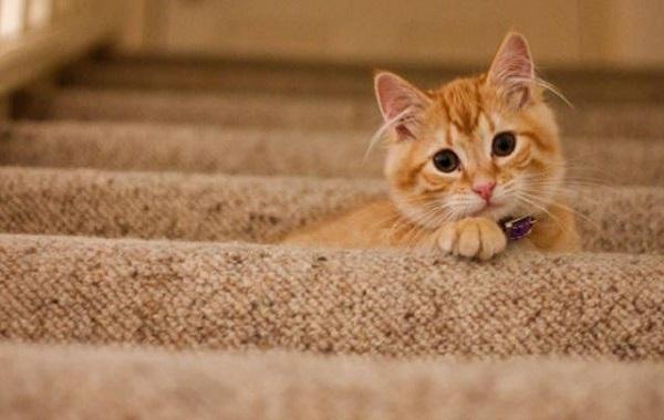 Kucing Malu