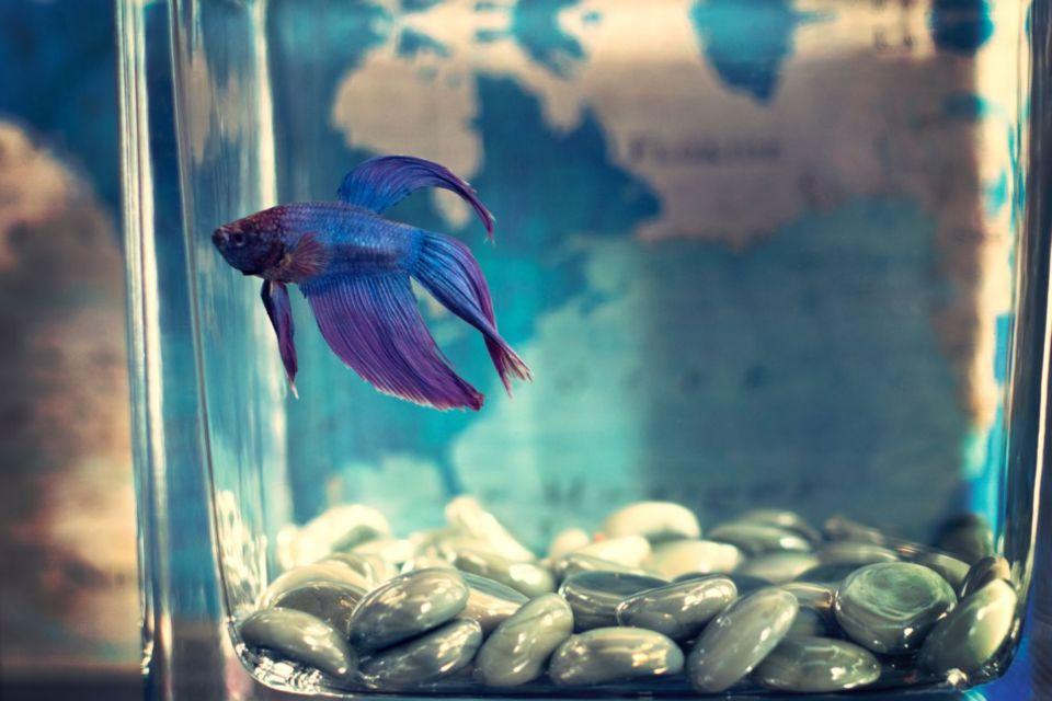 Tips Merawat Ikan Cupang Biar Panjang Umur Dan Cantik Ekornya Jangan Cuma Beli Mati Beli Aja