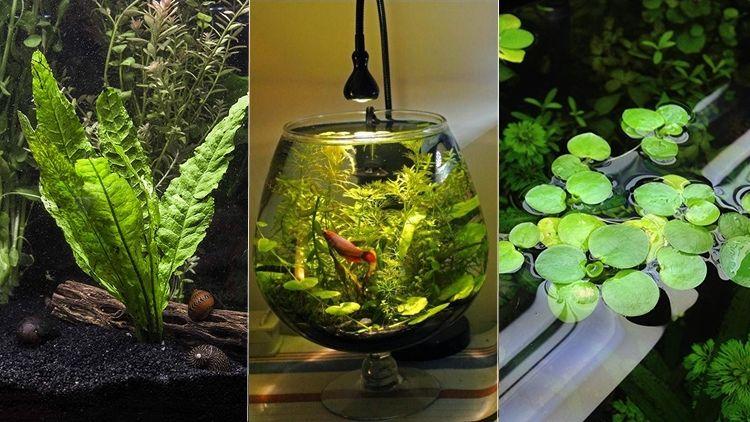 9 Jenis Tanaman Aquascape Yang Cocok Untuk Ikan Cupang Bisa Dimakan Atau Malah Buat Mainan