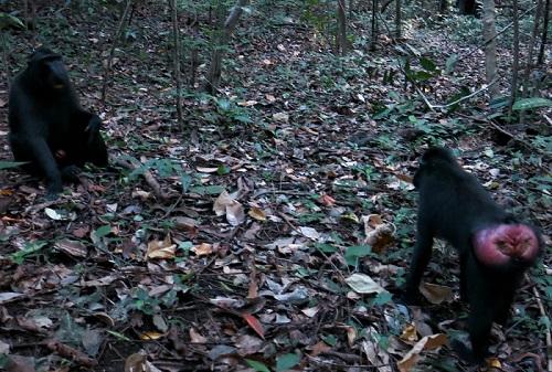 Primata langka di Cagar Alam Tangkoko Batuangus