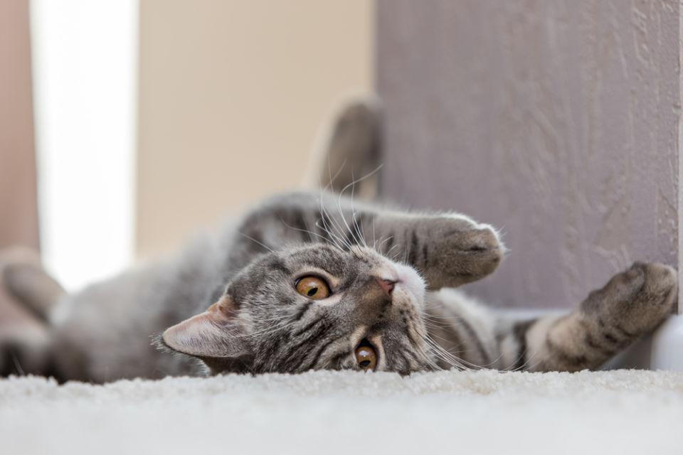 posisi tidur kucing tengkurap