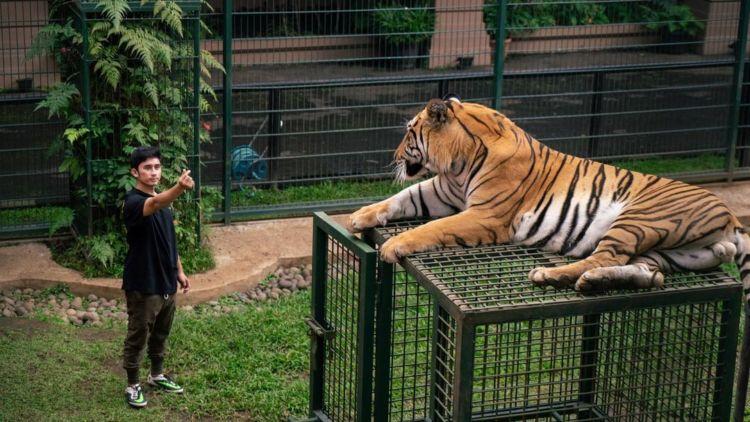 Pelihara Harimau di Rumah, Alshad Ahmad Tegaskan Sudah Kantongi Izin. Sekalian untuk Penangkaran