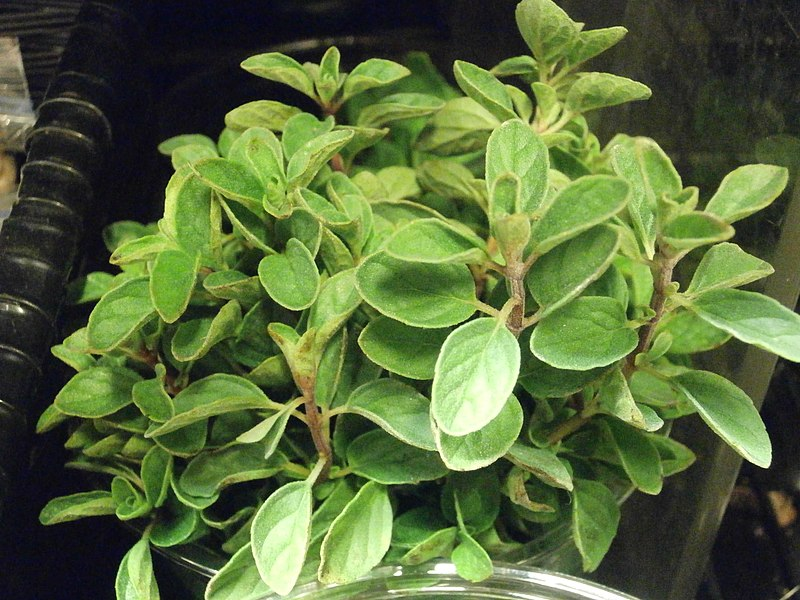 tanaman pengusir tikus di rumah