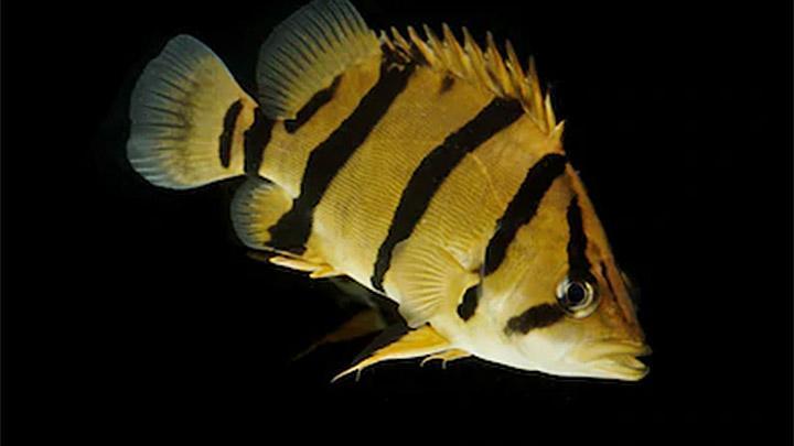 Ikan Harimau